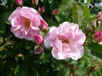 Rosa  'Indra'  Rose flowers