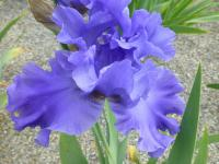 Iris barbata     'Yaquina Blue'  Bearded Iris flowers