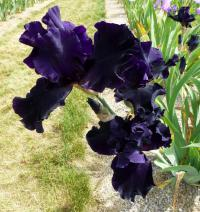Iris barbata 'Dark Passion'  Bearded Iris flowers
