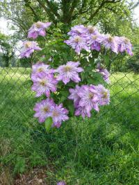 Clematis  'Crystal Fountain' - clematis