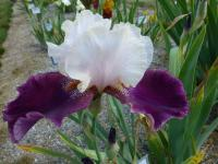Iris barbata   'Changing Times'  Bearded Iris flowers