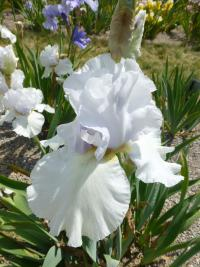 Iris barbata  'Cup Race'  Bearded Iris plant