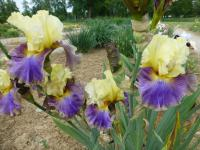 Iris barbata  'Style Traveller' - Bearded Iris