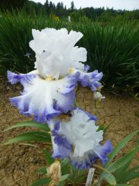Iris barbata 'Beautiful Victoria'  Bearded Iris flowers