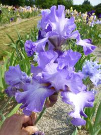 Iris barbata   'Silhouette'  Bearded Iris flowers