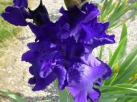Iris barbata   'Stellar Lights'  Bearded Iris flowers