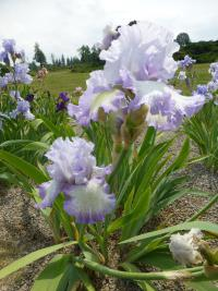 Iris barbata  'Acoma' - Bearded Iris