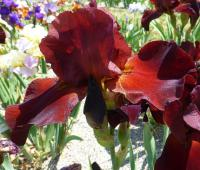 Iris barbata   'Spartan'  Bearded Iris flowers