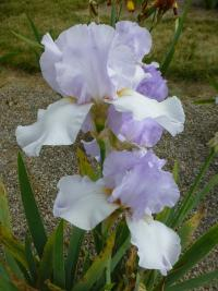 Iris barbata 'Lilac Haze'  Bearded Iris flowers