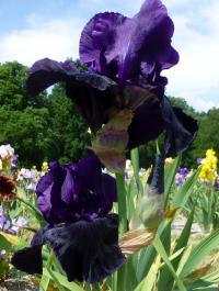 Iris barbata    'Black Madonna'  Bearded Iris flowers