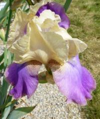 Iris barbata    'Amigo's Guitar'  Bearded Iris flowers