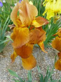 Iris barbata  'Juliet' - Bearded Iris