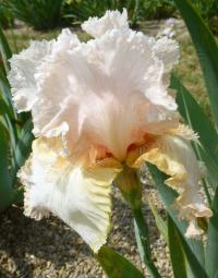 Iris barbata   'Buffy'  Bearded Iris flowers