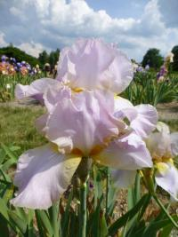 (Iris barbata elatior) Kosatec bradatý 'May Magic'