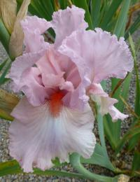 Iris barbata    'Pink Sleigh'  Bearded Iris flowers