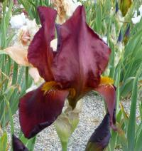 (Iris barbata elatior) Kosatec bradatý 'Fire Magic'