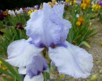 Iris barbata    'Azure Apogee'  Bearded Iris flowers