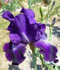 Iris barbata     'Winner's Circle'  Bearded Iris flowers