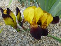 Kosatec bradatý 'Black and Gold' (Iris barbata elatior)