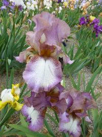 Iris barbata  'Alena' - Bearded Iris