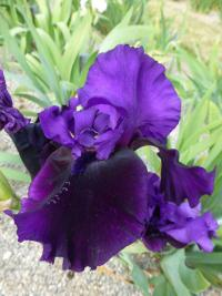 Iris barbata 'Midnight Treat'  Bearded Iris flowers
