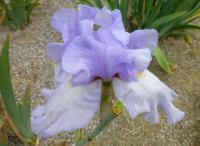 Bearded Iris Iris barbata  'Vivien'