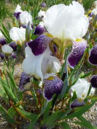 Bearded Iris Iris barbata  'Toelleturm'