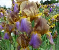Bearded Iris Iris barbata  'Evolution'