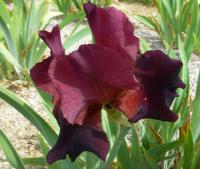 Bearded Iris Iris barbata  'Jewel Tone'