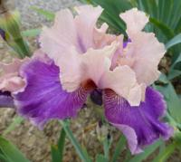 Bearded Iris Iris barbata  'My True Love'