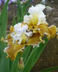 Iris barbata  'Going Green'  Bearded Iris plant