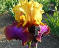 Iris barbata     'Gala Madrid'  Bearded Iris flowers