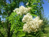 Sorbus aucuparia    'Edulis'  European mountain ash flowers