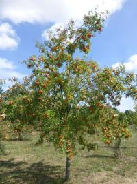Sorbus aucuparia 'Edulis'  European mountain ash plant