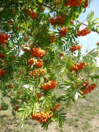 European mountain ash Sorbus aucuparia  'Edulis'