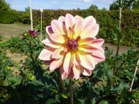 Dahlia Dahlia  'Happy Butterfly'