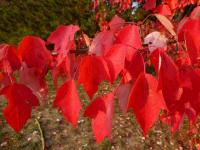 Acer rubrum        'Red Sunset'  red maple twings