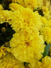 Chrysanthemum x grandiflorum     'Zina'  Chrysanthemum flowers