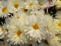 Chrysanthemum x grandiflorum     'Estela'  Chrysanthemum flowers