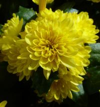 Chrysanthemum x grandiflorum   'Lenka'  Chrysanthemum flowers