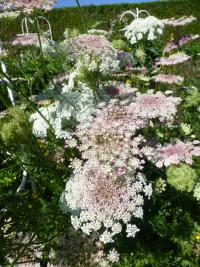 Mrkev 'Purple Kisses' (Daucus carota)