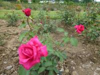 Rosa 'James Bond'  Rose plant