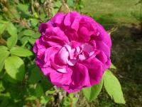 Rosa    'William Lobb'  Rose flowers