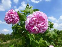 Rosa  'Honorine de Brabant'  Rose flowers