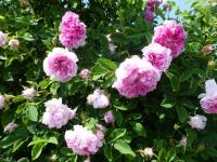 Rosa   'Blush Damask'  Rose plant