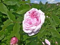 Rose Rosa  'Jacques Cartier'