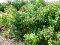 Rosa   'Velours Pourpre'  Rose plant