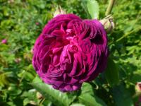 Rosa    'Velours Pourpre'  Rose flowers