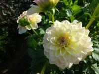 Jiřina 'Alloway Cottage' (Dahlia)