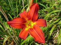 Denivka 'Apple Tart' (Hemerocallis hybrida)
